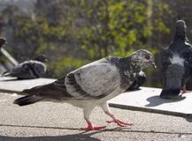 Pigeon. A goofy looking pigeon is step'n out city style stock images
