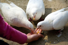 The pigeon. The girl give the pigeons something to eat Stock Photos