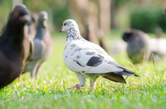 Pigeon. Walk in the garden royalty free stock photo