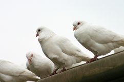 The pigeon. There are some white pigeons Stock Photo
