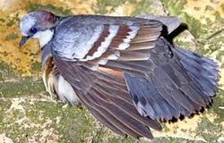 Pigeon 4 de purge-coeur de Luzon images stock