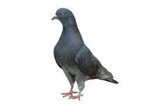 Free Pigeon Stock Image - 5238361