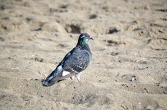 Pigeon Photos stock