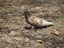Pigeon Photographie stock