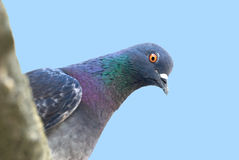 Pigeon. The pigeon sits on edge of a roof Royalty Free Stock Images