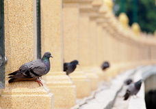 Pigeon Photographie stock