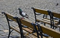 The Pigeon Royalty Free Stock Images