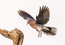 Pigeon photographie stock libre de droits
