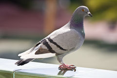 Free Pigeon Stock Photos - 6992213
