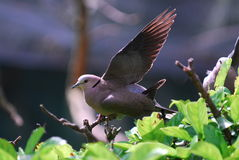 Pigeon. A pigeon spreading wings with back light Stock Images