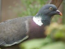Pigeon Image libre de droits
