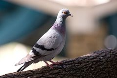 A pigeon. Perched on a tree branch Royalty Free Stock Photo