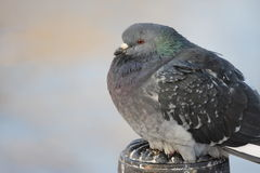 A pigeon. Sitting on a post Stock Image