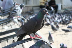 Pigeon. Standing pigeon in street & bird flu danger Royalty Free Stock Image