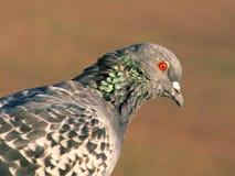 Pigeon Photos libres de droits