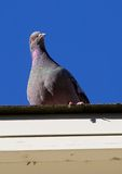 Pigeon. Curios pigeon on a roof Royalty Free Stock Images