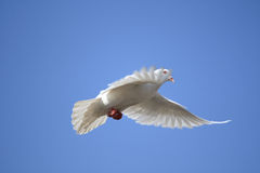 Pigeon. A flying white pigeon with a deep blue sky royalty free stock images