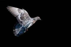 Pigeon. Flying pigeon isolated on black Royalty Free Stock Images