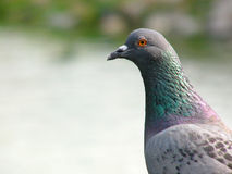 Pigeon. Side view of an urban pigeon royalty free stock photography