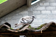 Pigeon above the tile wall background stock images