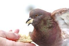 Pigeon affamé mangeant du pain de la paume Photo stock