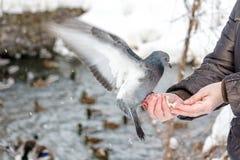 Pigeon affamé mangeant du pain de la paume Photos libres de droits