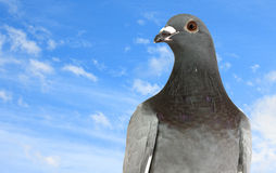 Pigeon against the blue sky Stock Photography