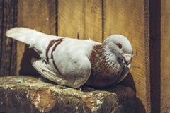 Pigeon allemand de homer de beauté Image libre de droits