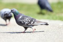 Pigeon on alley Royalty Free Stock Photo