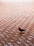Pigeon alone. A pigeon walking Stock Image