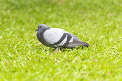 Pigeon alone Royalty Free Stock Photography