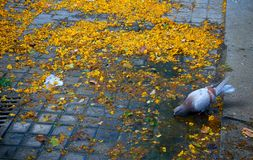 Pigeon alone in the streets of a city, drinking from a puddle in a dirty ground stock photo