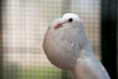 Pigeon anglais de Pouter Image libre de droits