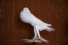 Pigeon anglais supérieur de pouter photographie stock libre de droits