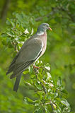 Pigeon in an Apple tree. Stock Image