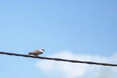 Pigeon argenté se reposant sur un fil électrique Photographie stock