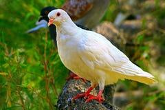 Pigeon asiatique blanc Photographie stock libre de droits