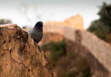 Pigeon atop an ancient stone wall. Pigeon atop an ancient cracked stone wall, looking over the famous nargarh fort of Rajasthan Stock Image