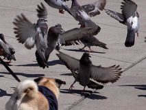 Pigeon Attack Royalty Free Stock Image