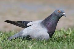 Pigeon attentif entouré par l'herbe Photos stock