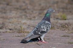 Pigeon attentif regardant vers la droite Image libre de droits