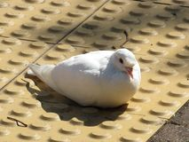 Pigeon Attracting Female stock photos
