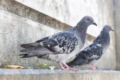 Pigeon au-dessus d'un escalier de marbre photographie stock libre de droits