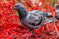 Pigeon au printemps entouré par des fleurs photos libres de droits