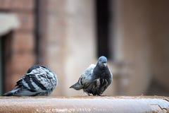 Pigeon au puits photos libres de droits