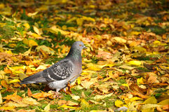 Pigeon in autumn stock image