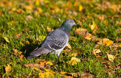 Pigeon in autumn Royalty Free Stock Image