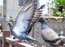 Pigeon avec des ailes Image libre de droits