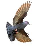 Pigeon avec des ailes augmentées Images stock