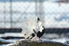 Pigeon avec des plumes de queue étendues Image libre de droits